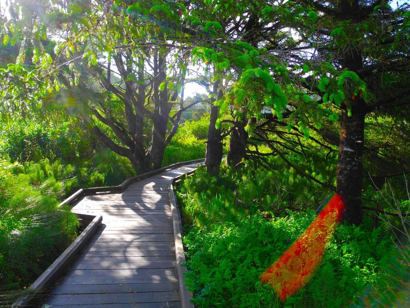 Boardwalk Path Through Green Trees and Foliage Opens in new window